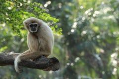 Weißer Gibbon Stockfotos
