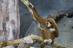 Weißer Gibbon Lizenzfreie Stockbilder