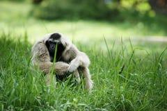 Weißer Gibbon, der auf dem grünen Gras sitzt Lizenzfreie Stockbilder