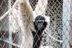 Weißer Gibbon hinter Käfigen Lizenzfreie Stockfotos