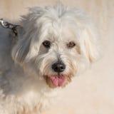 Weißer glücklicher Spielzeughund Lizenzfreies Stockfoto