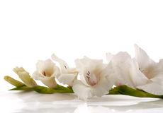 Weißer Gladiolus Stockbilder