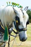 Weißer Grafschaftspferdeportrait Lizenzfreies Stockbild