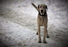 Weißer großer Hund Stockfotografie