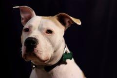 Weißer großer Hund nach dunklem Hintergrund Stockfoto