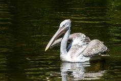 Weißer großer Pelikan, der über dunklem Wasser schwimmt Lizenzfreies Stockfoto