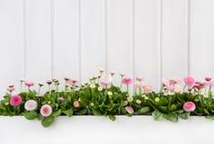 Weißer hölzerner Frühlingshintergrund mit rosa Gänseblümchen blüht