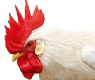 Weißer Hahn mit rotem Scheitel lizenzfreies stockfoto