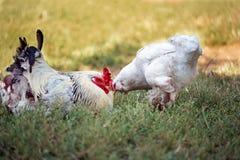Weißer Hahn und Huhn auf dem Rasen Henne, die nach Lebensmittel sucht Lizenzfreie Stockfotografie