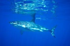 Weißer Hai Stockbilder