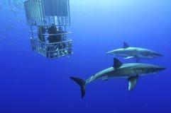 Weißer Hai lizenzfreie stockfotos