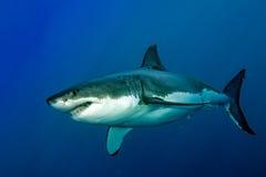 Weißer Hai bereit anzugreifen stockbild