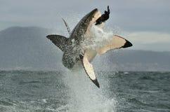 Weißer Hai (Carcharodon Carcharias) durchbrechend in einem Angriff lizenzfreie stockfotografie