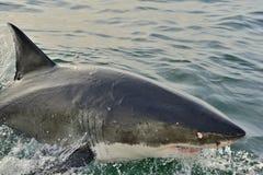 Weißer Hai in einem Angriff lizenzfreies stockfoto