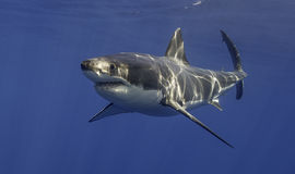 Weißer Hai Mexiko lizenzfreies stockbild