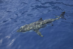 Weißer Hai Mexiko stockfoto