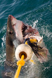 Weißer Haifisch stockbild