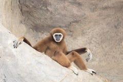 Weißer Handgibbon, der auf dem Felsen sitzt Lizenzfreies Stockfoto
