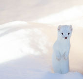 Weißer Hermelinwiesel, der im tiefen Schnee steht stockfoto