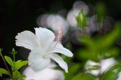 Weißer Hibiscus Stockfotografie