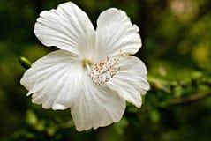 Weißer Hibiscus Lizenzfreies Stockbild