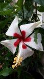 Weißer Hibiscus Lizenzfreie Stockbilder