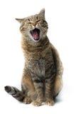 Weißer Hintergrund des netten europäischen Kätzchens, Tierporträt Stockfotografie