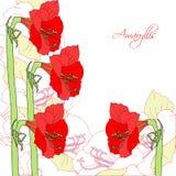 Weißer Hintergrund mit roten ammaryllis lizenzfreie abbildung