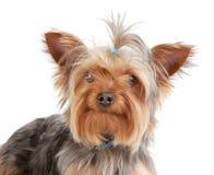 Weißer Hintergrund Yorkshire-Terriers, Porträt Stockfotos