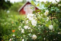 Weißer Hochsommer stieg, Nahaufnahme auf Blumen stockfotografie