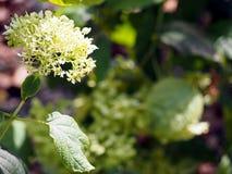 Weißer Hortensia Stockfoto
