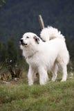 Weißer Hund Stockfotografie