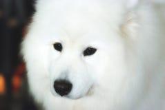 Weißer Hund Lizenzfreie Stockfotografie