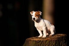 Weißer Hund stockfotos