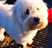 Weißer Hund Stockbild