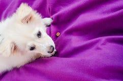 Weißer Hund auf der Decke stockbilder