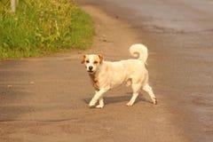 Weißer Hund auf der Straße Lizenzfreies Stockbild
