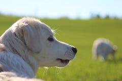 Weißer Hund auf einem Rasen Stockfotos
