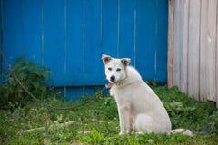 Weißer Hund auf einer Kette Lizenzfreie Stockbilder