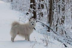 Weißer Hund auf einer Waldspur Stockbilder
