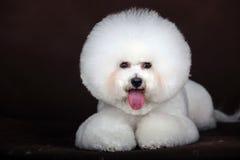 weißer Hund Bichon Frise Lizenzfreies Stockbild