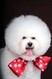 weißer Hund Bichon Frise Lizenzfreies Stockfoto