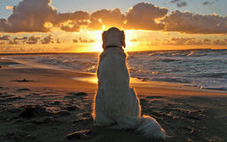 Weißer Hund, der auf aufpassendem Sonnenuntergang des sandigen Strandes sitzt stockfoto