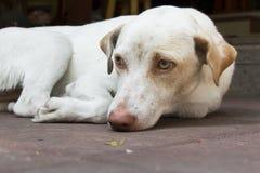 Weißer Hund, der auf Boden legt stockfotos