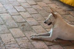 Weißer Hund, der auf dem Treppenhaus sitzt Lizenzfreies Stockfoto