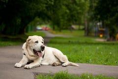 Weißer Hund, der auf der Plasterung liegt Stockfoto