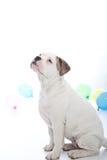 Weißer Hund, der auf eine Festlichkeit wartend sitzt Lizenzfreie Stockbilder