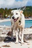 Weißer Hund, der auf tropischem Strand Philippinen des weißen Sandes sitzt Lizenzfreies Stockbild