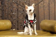 Weißer Hund der Chihuahua in der Kleidung Lizenzfreie Stockfotografie