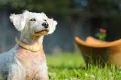 Weißer Hund, der in das grüne Gras legt Lizenzfreie Stockbilder